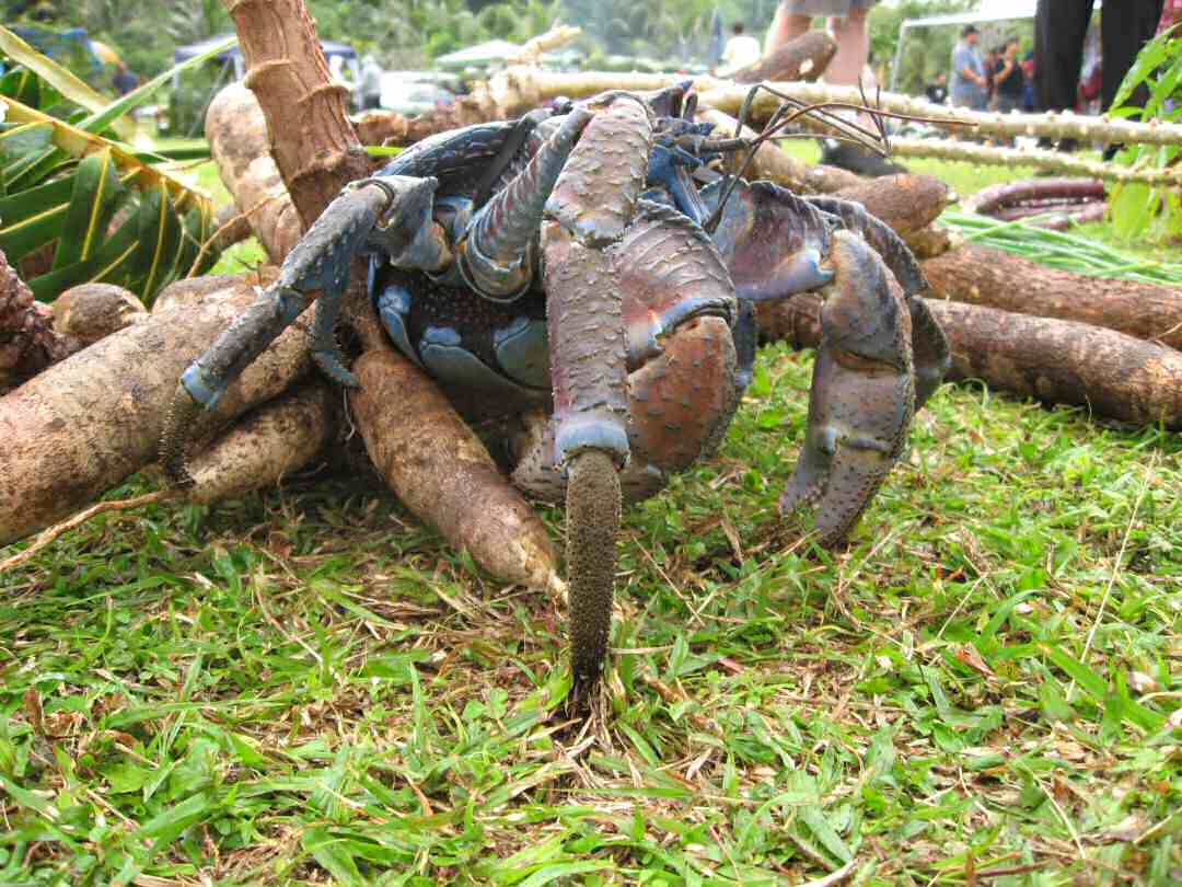 evolution of the coconut crab Serving coconut crab dishes to locals and tourists thus, the number of coconut crabs served here has been out-standing among restaurants in the archipelago (t sato pers comm with local people) the restaurant receives crabs shipped from several islands within the archipelago, including hatoma island, from april to december catches.